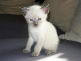 Reinrassige Siam Kitten (entwurmt + geimpft) suchen neues zu Hause