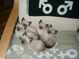 Foto 2 Reinrassige Siam Kitten (entwurmt + geimpft) suchen neues zu Hause