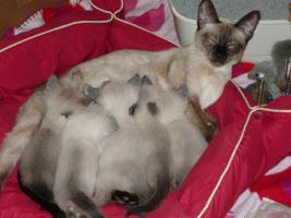 Foto 3 Reinrassige Siam Kitten (entwurmt + geimpft) suchen neues zu Hause