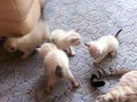 Reinrassige Siamkatzen zu verkaufen