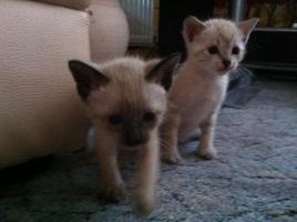 Foto 2 Reinrassige Siamkatzen zu verkaufen
