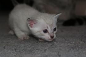 Foto 3 Reinrassige Siamkatzen zu verkaufen