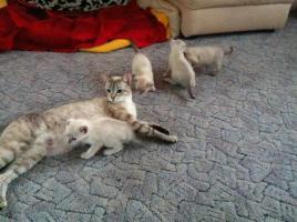 Foto 4 Reinrassige Siamkatzen zu verkaufen
