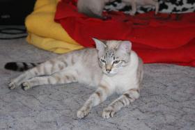Foto 5 Reinrassige Siamkatzen zu verkaufen