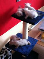 Foto 7 Reinrassige Siamkatzen zu verkaufen