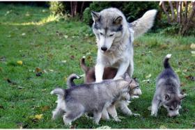 Foto 2 Reinrassige Siberian Husky