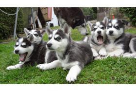 Foto 3 Reinrassige Siberian Husky