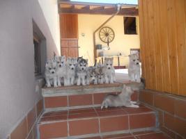 Reinrassige Siberian Husky mit Papieren