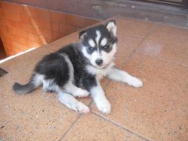 Foto 2 Reinrassige Siberian Husky mit Papieren