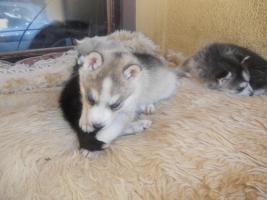 Foto 3 Reinrassige Siberian Husky mit Papieren