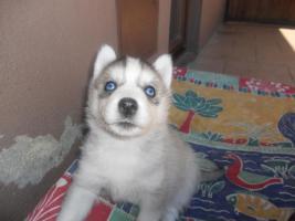 Foto 4 Reinrassige Siberian Husky mit Papieren