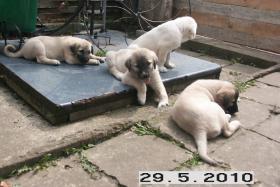 Foto 3 Reinrassige Sivas Kangal Welpen suchen Zuhause