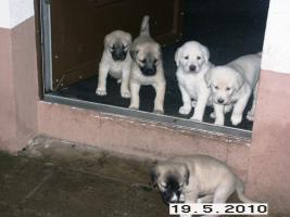 Foto 6 Reinrassige Sivas Kangal Welpen suchen Zuhause