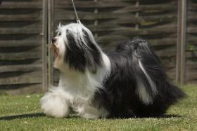 Foto 4 Reinrassige Tibet Terrier Welpen mit Papiere