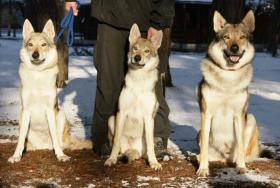 Foto 2 Reinrassige Tschechoslowakischer Wolfhund