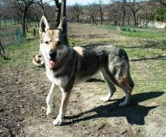Foto 2 Reinrassige Tschechoslowakischer Wolfhund Welpen