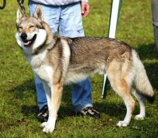 Foto 3 Reinrassige Tschechoslowakischer Wolfhund Welpen