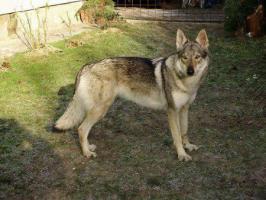 Reinrassige Tschechoslowakischer Wolfshund