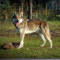Foto 2 Reinrassige Tschechoslowakischer Wolfshund