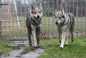 Foto 3 Reinrassige Tschechoslowakischer Wolfshund