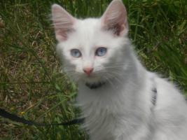 Reinrassige Türkisch Angora Kitten