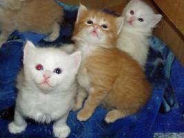 Foto 3 Reinrassige Türkisch Angora Kitten