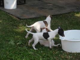 Foto 3 Reinrassige WHIPPET  - kleine englische Windhund