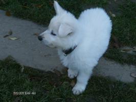 Foto 2 Reinrassige Weisse Schäferhund Welpen
