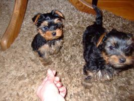 Reinrassige Yorkshire-Terrier Welpen