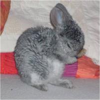 Reinrassige Zwerg Rex Kaninchen in seltenen Farben