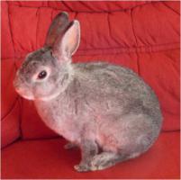 Foto 3 Reinrassige Zwerg Rex Kaninchen in seltenen Farben