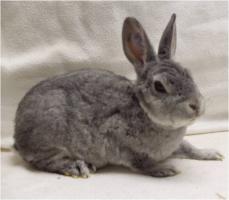 Foto 5 Reinrassige Zwerg Rex Kaninchen in seltenen Farben
