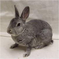 Foto 6 Reinrassige Zwerg Rex Kaninchen in seltenen Farben