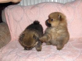 Foto 3 Reinrassige Zwergspitz Pomeranian Welpen
