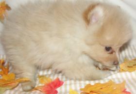 Foto 4 Reinrassige Zwergspitz / Pomeranian  Welpen  Mit Papieren