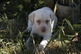 Reinrassige gelbe Labradorwelpen ab sofort abzugeben!