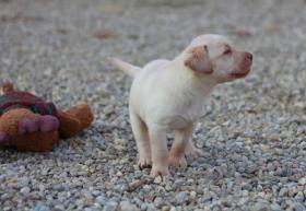 Foto 2 Reinrassige gelbe Labradorwelpen ab sofort abzugeben!