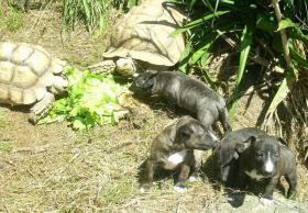 Foto 2 Reinrassige markante Miniature Bullterrier Welpen