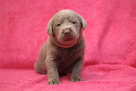 Reinrassige silber Labrador Welpen aus Familienzucht!