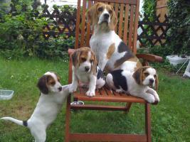 Reinrassige tricolor Beagle Welpen von besten Vorfahren