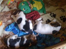 Foto 2 Reinrassige tricolor Beagle Welpen von besten Vorfahren