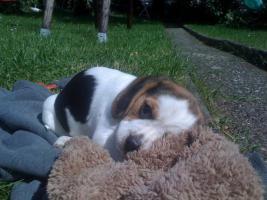 Foto 3 Reinrassige tricolor Beagle Welpen von besten Vorfahren