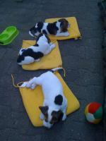 Foto 4 Reinrassige tricolor Beagle Welpen von besten Vorfahren