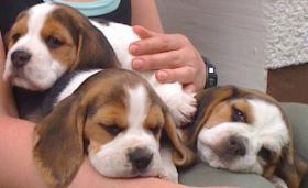 Foto 5 Reinrassige tricolor Beagle Welpen von besten Vorfahren