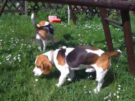 Foto 6 Reinrassige tricolor Beagle Welpen von besten Vorfahren