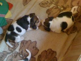 Foto 7 Reinrassige tricolor Beagle Welpen von besten Vorfahren