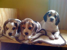 Foto 8 Reinrassige tricolor Beagle Welpen von besten Vorfahren