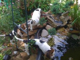 Foto 9 Reinrassige tricolor Beagle Welpen von besten Vorfahren
