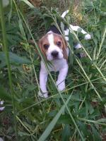 Foto 10 Reinrassige tricolor Beagle Welpen von besten Vorfahren