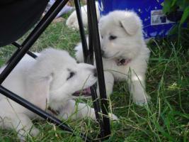 Foto 3 Reinrassige weiße Schäferhund Welpen